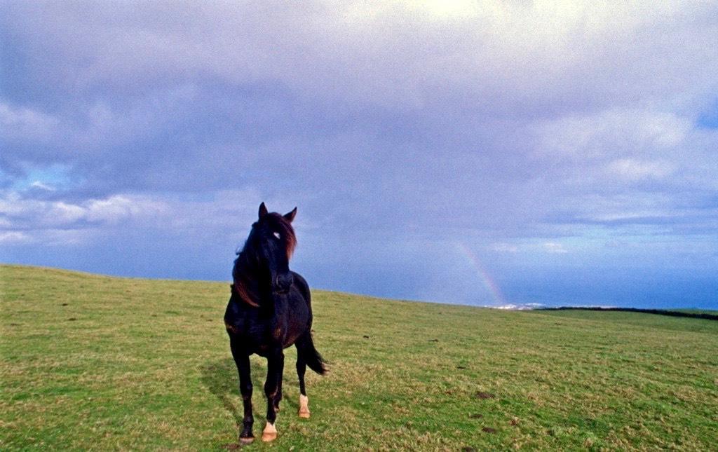 Cavallo_Azzorre 1