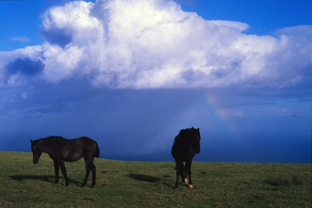 Cavallo_Azzorre 2