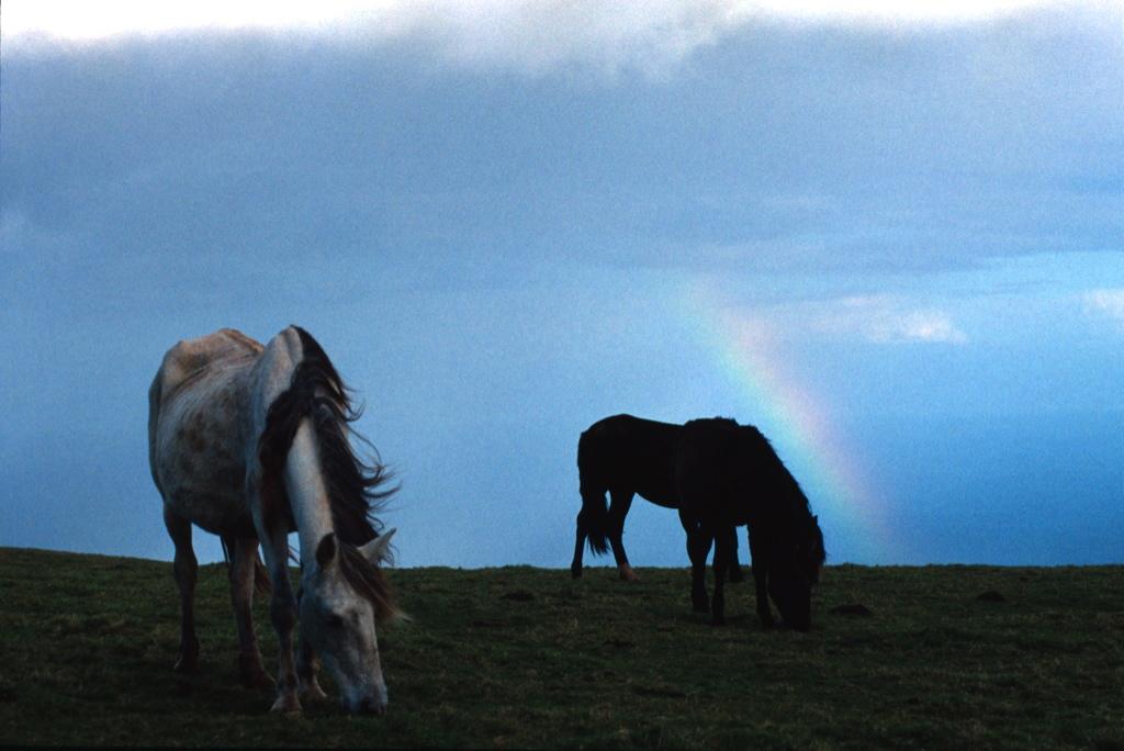 Cavallo_Azzorre 3