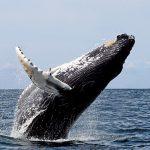 Avvistare le balene alle Azzorre