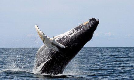 Avvistamento Balene alle Azzorre