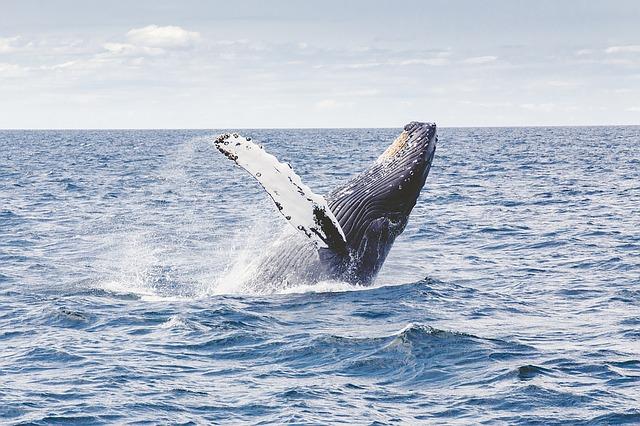 Il salto di una balena alle Azzorre
