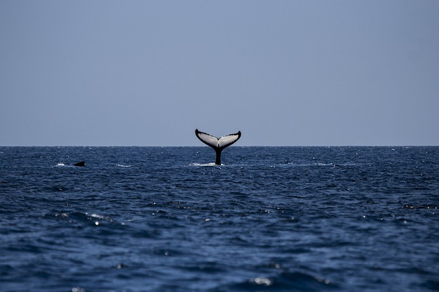Avvistamento cetacei alle Azzorre