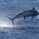 Pesca d'alto bordo: Marlin alle Azzorre
