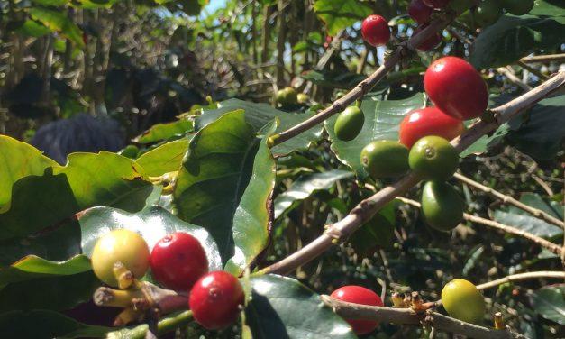 Il caffè biologico di Manolo Nunes a Faja Dos Vimes a São Jorge – Azzorre